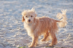Ein netter kleiner nasser Welpen-Hund alleine auf dem Sandy-Strand Stockfotografie