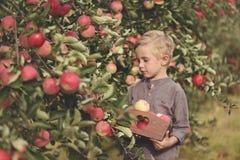 Ein netter, lächelnder Junge wählt Äpfel in einem Apfelgarten aus und hält einen Apfel stockfotografie