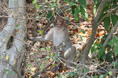 Ein netter langschwänziger Makakenaffe in einem tropischen Wald bei Chonburi, Thailand Stockfoto