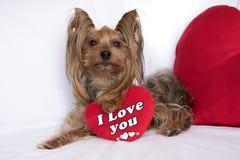 Ein netter Liebhabervalentinsgruß-Yorkshire-Terrierjungenhund mit einem Rot hören lizenzfreies stockfoto