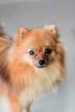 Ein netter Pomeranian-Hund Stockbilder
