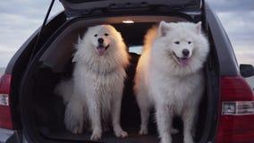 Ein netter Samoyedhund sitzt im Autokofferraum, während ein anderes das Springen inner und Abstreifen ist Slowmotion Schuss stock video footage