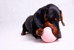 Ein netter schauender Dachshund-Hund, der mit einem rosa Ball spielt Stockfotografie