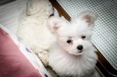 Ein netter weißer Welpe in einem Geschäft für Haustiere in Osaka, Japan - November 2016 Lizenzfreie Stockfotos
