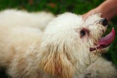 Ein netter Zwergpudelhund, der die Liebkosung des Eigentümers genießt stockfotos