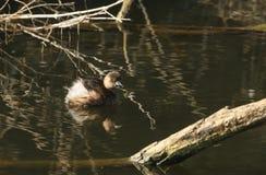 Ein netter Zwergtaucher, Tachybaptus-ruficollis, schwimmend auf einem See Es ist unter dem Wasser getaucht, um Nahrung zu fangen stockfotos