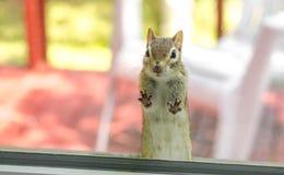 Ein nettes entzückendes Streifenhörnchen mit beiden Vorderpfoten, Füße auf dem Fenster, schauend innerhalb meines Hauses Lizenzfreie Stockfotos