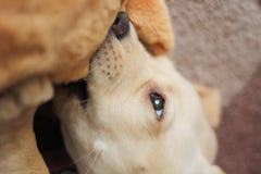Ein nettes goldenes Labrador-Welpenbeißen Lizenzfreie Stockfotografie