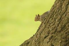 Ein nettes Grey Squirrel Scirius-carolinensis, das auf der Seite eines Baumstammes sitzt Stockfotos