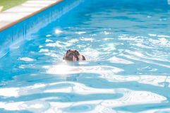 Ein nettes Hundpugschwimmen an einem lokalen Gemeinschaftspool, Floss stockfotos