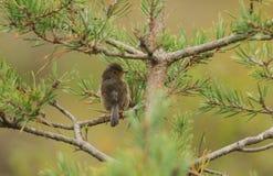 Ein nettes jugendliches Provencegrasmücke-Sylvia-undata, das auf einer Niederlassung in einem Baum hockt lizenzfreie stockbilder