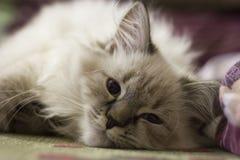 Ein nettes Kätzchen liegt auf der Couch Stockbild