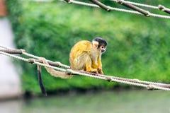 Ein nettes, klein, Affe, der auf einem Strickleiter sitzt Lizenzfreies Stockbild