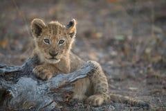 Ein nettes, kleines Löwejunges stockbilder