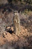 Ein nettes meerkat in der Wüste von Oudtshoorn, Südafrika Stockbild