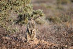 Ein nettes meerkat in der Wüste von Oudtshoorn, Südafrika Lizenzfreie Stockfotografie