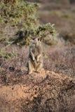 Ein nettes meerkat in der Wüste von Oudtshoorn, Südafrika Stockfoto