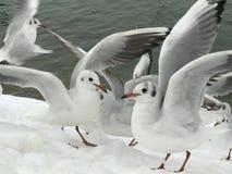 Ein nettes Paar Seemöwen auf Schnee lizenzfreies stockbild