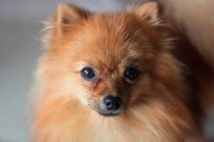 Ein nettes Pomeranian-Hundelächeln Stockfotos