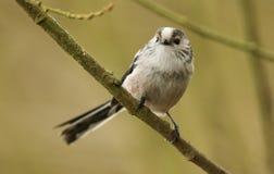 Ein nettes Schwanzmeise Aegithalos-caudatus hockte auf einer Niederlassung in einem Baum Stockbilder