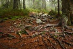 Ein Netz des Baums wurzelt das Wachsen über Felsen nahe bei einem Wanderweg Eine Holzbank und eine Tabelle im Hintergrund Stockbilder