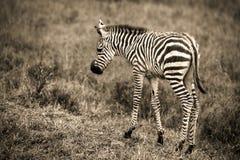 Ein neugeborenes Zebra im Sepia Stockfotografie