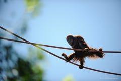Ein neugieriger Babyaffe, der an den Seilen hängt lizenzfreies stockbild