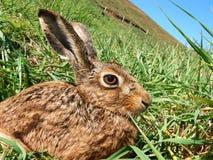 Ein neugieriger Brown-Hase Lizenzfreies Stockfoto