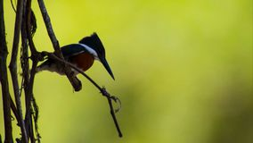 Ein neugieriger Kastanie-unterstützter Chickadee gehockt auf einer Niederlassung stockfoto