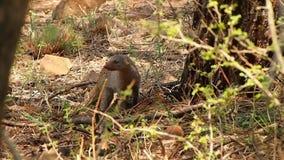 Ein neugieriger mit einem Band versehener Mungo in der Madikwe-Spiel-Reserve stock video footage