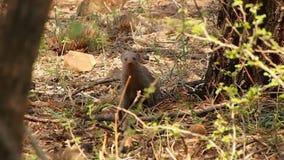 Ein neugieriger mit einem Band versehener Mungo in der Madikwe-Spiel-Reserve stock footage