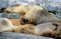 Ein neugieriger Seelöwe Lizenzfreies Stockfoto