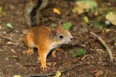 Ein neugieriges Eichhörnchen Stockfotos
