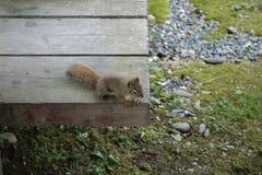Ein neugieriges Eichhörnchen Stockbild