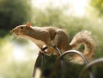 Ein neugieriges Eichhörnchen Stockfotografie