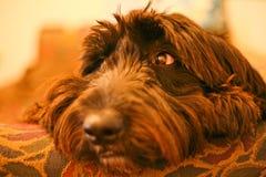 Ein neugieriges golden retriever und ein alter englischer Schäferhund mischen Stockbild