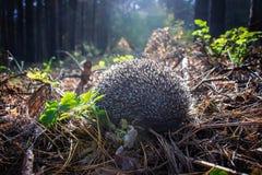 Ein neugieriges junges Igeles lebt im Kiefernwald ganz allein Lizenzfreie Stockfotografie