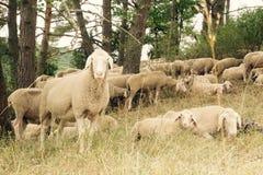 Ein neugieriges Schaf Stockfotografie