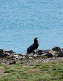 Ein Neuseeländischer Seebär/ein Kekeno, der in Otago-Halbinsel nahe Dunedin ein Sonnenbad nimmt und sich entspannt stockfotos