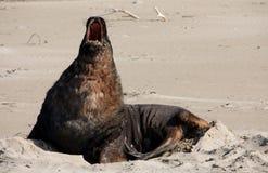 Ein Neuseeländischer Seelöwe, der auf einem Strand an Surat-Bucht im Catlins in der Südinsel in Neuseeland gähnt stockbild