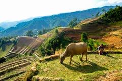 Ein nicht identifiziertes ethnisches Mädchen, das um ihrem Büffel auf dem Berg sich kümmert lizenzfreies stockbild