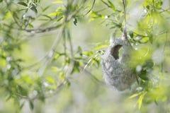 Ein nicht schon fertiges Nest eines eurasischen Beutelmeise Remiz-pendulinus an den Seen von Linum Deutschland lizenzfreies stockbild