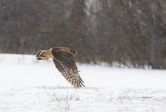 Ein Nordgeländeläufer-Zirkus cyaneus Fliegen über einem Schnee bedeckt archiviert auf der Suche nach Opfer in Kanada lizenzfreies stockbild