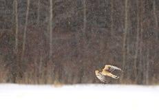 Ein Nordgel?ndel?ufer-Zirkus cyaneus Fliegen ?ber einem Schnee bedeckt archiviert auf der Suche nach Opfer in Kanada stockbilder