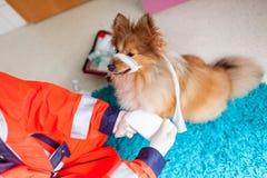 Ein Nottierarzt behandelt einen kleinen die Shetlandinseln-Schäferhund stockfotografie