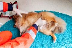 Ein Nottierarzt behandelt einen kleinen die Shetlandinseln-Schäferhund lizenzfreies stockfoto