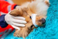 Ein Nottierarzt behandelt einen kleinen die Shetlandinseln-Schäferhund stockfoto