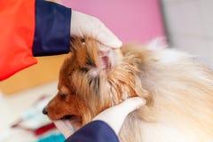 Ein Nottierarzt behandelt einen kleinen die Shetlandinseln-Schäferhund stockbild