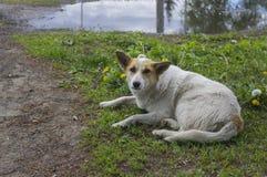 Ein obdachloser Hund liegt auf dem Gras Lizenzfreies Stockfoto