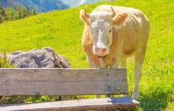 Ein Ochse, der auf dem Graswiesengebiet hinter der Holzbank im ländlichen Berggebiet steht Lizenzfreies Stockfoto